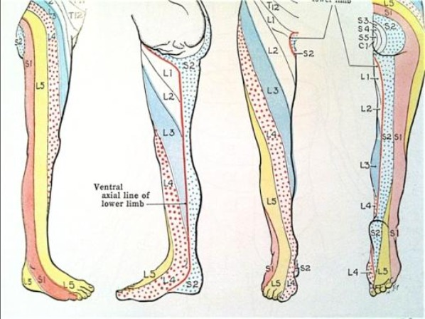 Dermatome chart by Grant's Atlas of Anatomy